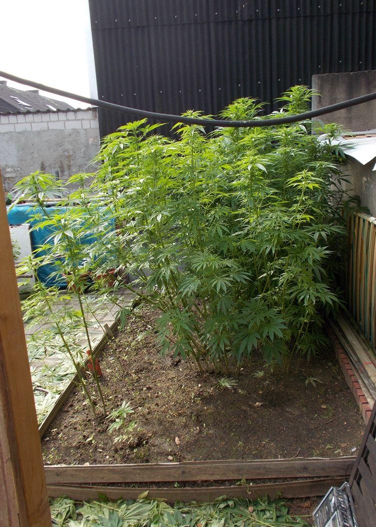 pol ne hanf in wohnung und garten angebaut polizei stellt cannabis sicher fotos in der. Black Bedroom Furniture Sets. Home Design Ideas