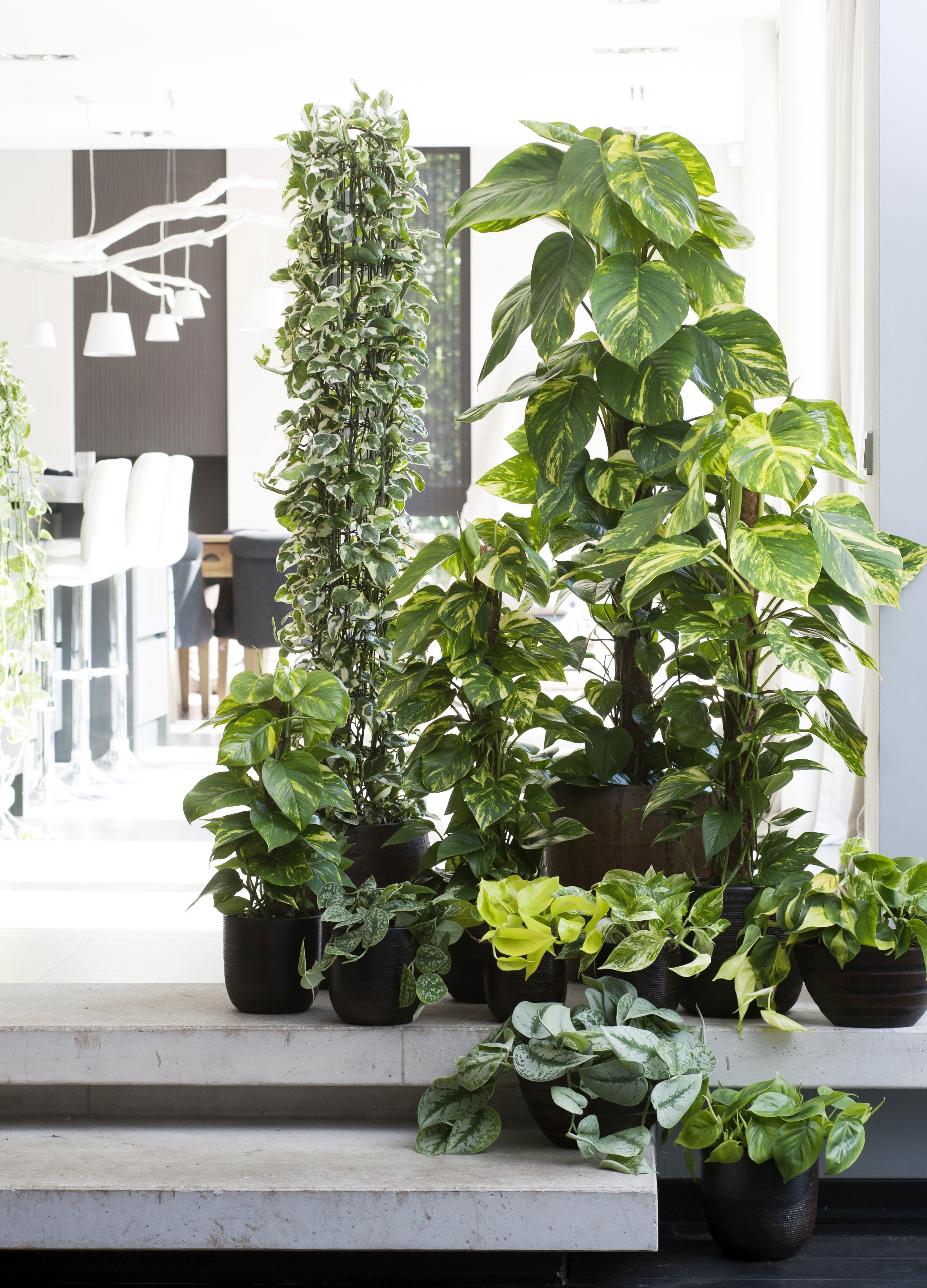 Efeutute ist die zimmerpflanze des monats februar die efeutute verbreitet power und schafft - Zimmerpflanze rankend ...