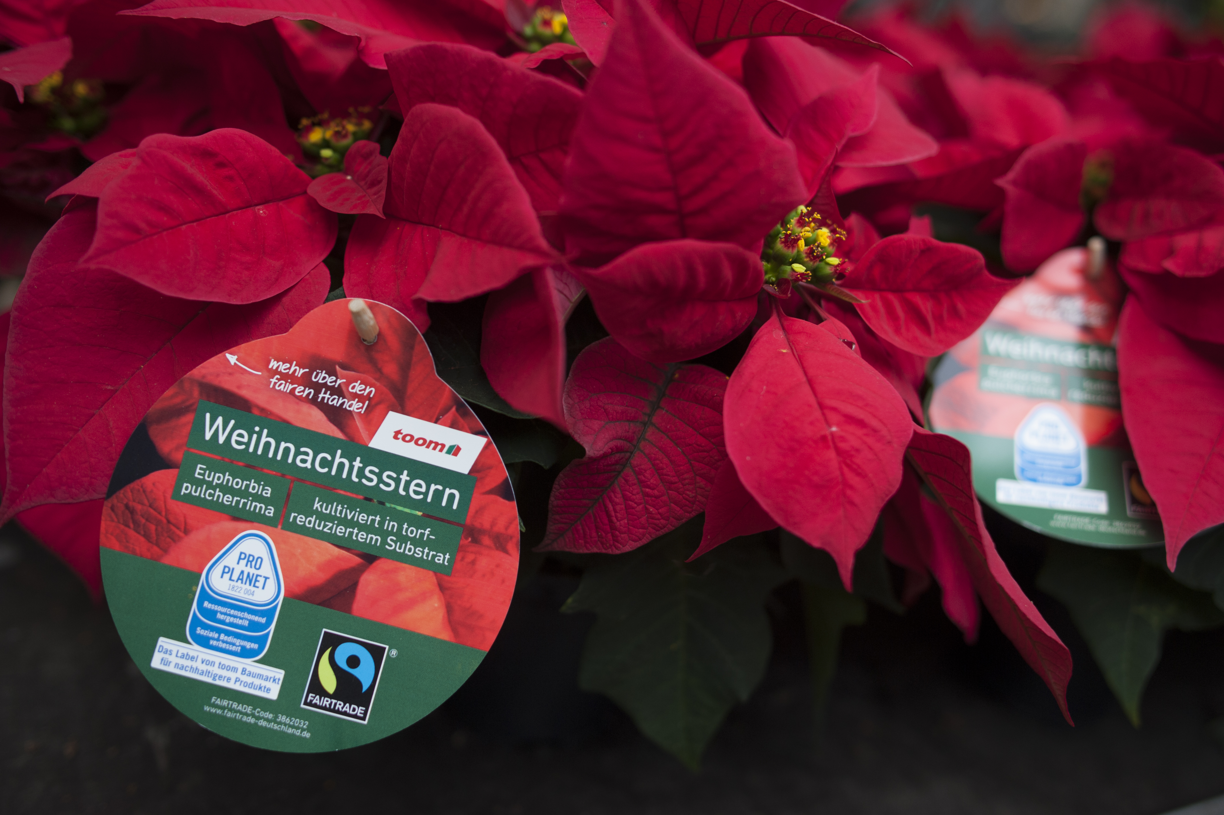 weihnachtssterne mit gutem gewissen kaufen toom stellt gesamtes weihnachtsstern sortiment auf. Black Bedroom Furniture Sets. Home Design Ideas