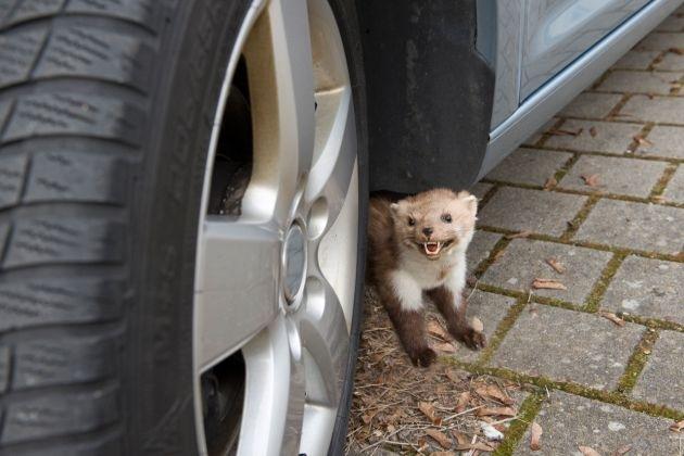 Tipps für den Alltag / Wehe, wenn sie losgelassen / Im Frühling machen Steinmarder Jagd auf Schläuche und Kabel von Fahrzeugen (mit Bild)