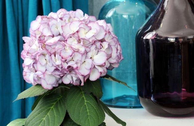 hortensie ist zimmerpflanze des monats m rz farbenfroher. Black Bedroom Furniture Sets. Home Design Ideas