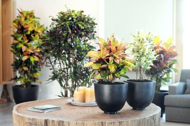 Kroton ist Zimmerpflanze des Monats April / Kaleidoskop im Topf: Der farbenfrohe Wunderstrauch