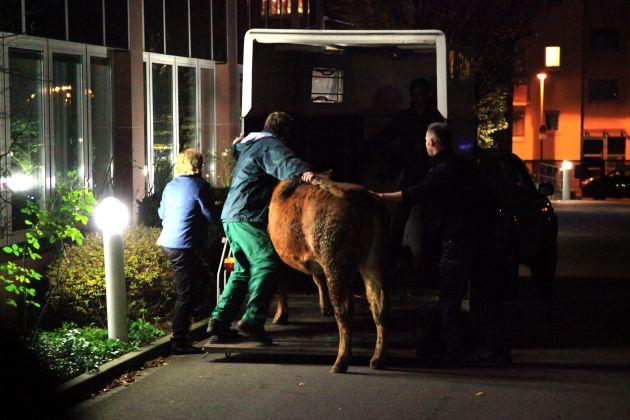 FW-E: Erfolgreiche Tierrettung, Rindviech eingefangen Gemeinsame Aktion von Polizisten, Feuerwehrleuten und einem Landwirt
