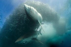 Nat Geo Wild: Aggressiv, blutrünstig und gefährlich: Was steckt wirklich hinter dem Mythos Hai?