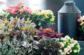 Blumenbüro: Begonie ist Zimmerpflanze des Monats Oktober / Ein Feuerwerk aus Blüten und Blättern mit der Begonie