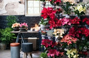 Blumenbüro: Poinsettie ist Zimmerpflanze des Monats November / Treuer Begleiter durch trübe Wintertage: Die Poinsettie