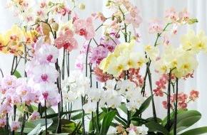Blumenbüro: Phalaenopsis ist Zimmerpflanze des Monats Dezember / Zarter Jahresabschluss mit der Phalaenopsis in Pastell