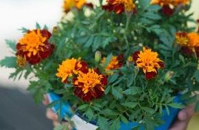 Blumenbüro: Exotische Gartenblüher laden zum Sommerfest ein / Fiesta im Außenbereich mit Mandevilla und Tagetes