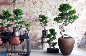 Blumenbüro: Ficus Ginseng ist Zimmerpflanze des Monats Juli / Japanische Bonsai-Kunst für Zuhause: Der Ficus Ginseng
