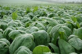 iglo Deutschland: So kommt der Spinat vom Feld in die Packung: In fünf Film-Episoden zeigt iglo den Weg des beliebten Gemüses - von der Ernte bis zur Verarbeitung (FOTO)