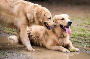 Bundesverband für Tiergesundheit e.V.: Leptospirose: Die Gefahr aus dem Tümpel / Stehende Gewässer und Pfützen sind zur Abkühlung und als Durstlöscher nicht geeignet