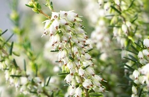 Blumenbüro: Winterheide lässt triste Außenbereiche erstrahlen / Fröhliche Farben im Garten mit der Winterheide