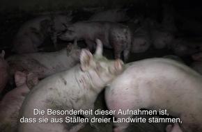 Neues Video zeigt erschütternde Zustände in Schweinebetrieben von CDU-Bundestagsabgeordneten - PETA erstattet Strafanzeige