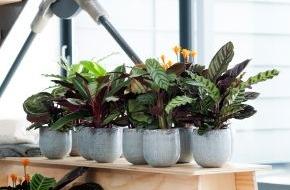 Blumenbüro: Calathea ist Zimmerpflanze des Monats September / Amazonas-Flair zu Hause mit der erfrischenden Calathea (FOTO)