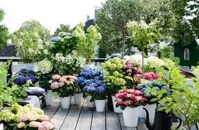 Blumenbüro: Ein Blütenmeer: Outdooroasen schaffen mit der Hortensie - Pflanzenfreude.de