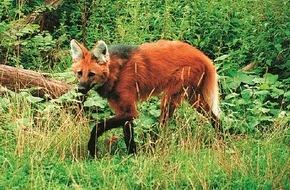 Faber-Castell: Der Mähnenwolf im Bleistiftwald / Am 21. März ist der internationale Tag des Waldes