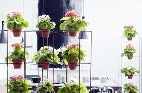 Blumenbüro: Becherprimel ist Zimmerpflanze des Monats Februar / Erste Frühlingsgefühle mit der Becherprimel