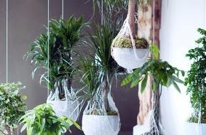 Blumenbüro: Zimmerbäume sind Zimmerpflanzen des Monats Januar / Drachenbaum, Elefantenfuß, Glückskastanie und Poliscias: Natürliche Raumtrenner