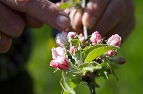 VdF Verband der deutschen Fruchtsaft-Industrie: Jetzt blüht uns was / Prachtvolle Obstblüte kündigt neuen Fruchtsaftjahrgang an