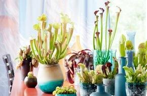 Blumenbüro: Fleischfressende Pflanzen sind Zimmerpflanzen des Monats September Der Jäger im Wohnzimmer: Die Fleischfressende Pflanze