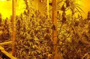 Cannabis Indoor-Plantage