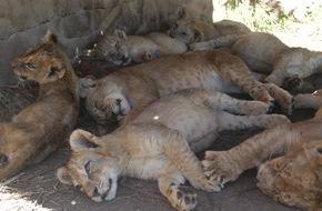 VIER PFOTEN - Stiftung für Tierschutz: Afrika bald ohne Löwen? / Neue Studie bestätigt Rückgang der Löwenpopulation