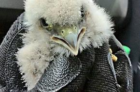 Polizeidirektion Hannover: POL-H: Foto! Polizisten retten Greifvogelküken