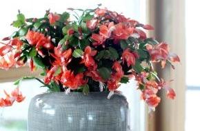 Blumenbüro: Weihnachtskaktus ist Zimmerpflanze des Monats November / Farbenfroher Muntermacher: Der Weihnachtskaktus
