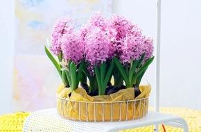 Blumenbüro: Hyazinthe ist Zimmerpflanze des Monats Dezember / Duftende Hyazinthen für trübe Wintertage