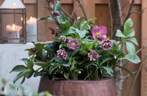 Blumenbüro: Rosige Zeiten für kalte Monate / Alpenflair im winterlichen Garten mit der Lenzrose