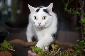 Bundesverband für Tiergesundheit e.V.: Von hyperaktiv bis zu lethargisch / Wenn die Schilddrüse der Katze zu viele Hormone ausschüttet