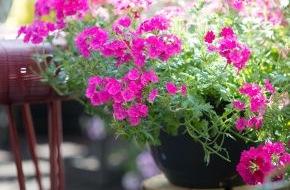 Blumenbüro: Blühendes Duo für sonnige Balkone / Sommernachtsträume mit Verbena und Mandevilla