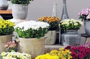 Blumenbüro: Chrysantheme ist Zimmerpflanze des Monats Oktober / Strahlender Herbst mit der farbenprächtigen Chrysantheme (FOTO)