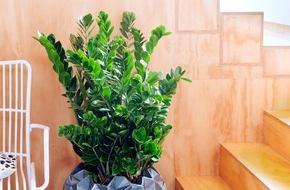 Blumenbüro: Zamioculcas ist Zimmerpflanze des Monats Juni / Widerstandsfähige Grünpflanze mit Federlook