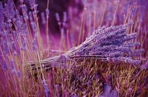 Blumenbüro: Für einen dichten Wuchs benötigt der Lavendel den richtigen Schnitt / Das Flair Südfrankreichs: Lavendel im heimischen Garten