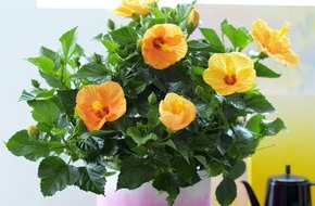 Blumenbüro: Hibiskus ist Zimmerpflanze des Monats Mai / Exotik für Zuhause mit dem Hibiskus
