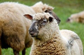 Polizeipräsidium Westpfalz: POL-PPWP: Wildschweine verjagen Schaf von Koppel
