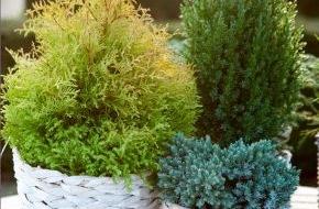 Blumenbüro: Winterharte Gartenpflanzen: Die Christrose trifft auf Nadelbäume / Schneeflöckchen, Weißröckchen im heimischen Garten