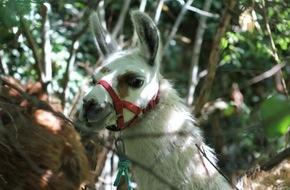 Lamas auf Abwegen