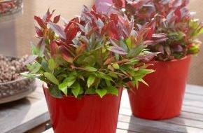 Blumenbüro: Herbstliche Gartenfreude mit Traubenheide, Skimmia und Co. / Indian Summer: So erblüht der Herbst im Garten