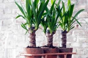 Blumenbüro: Yucca ist Zimmerpflanze des Monats Januar / Die unkomplizierte Wüstenbewohnerin Yucca zieht ein (FOTO)