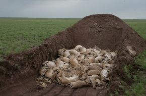 Zoologische Gesellschaft Frankfurt: Was tötete die Saigas? / Erste Ergebnisse zum Massensterben der Antilopen in Kasachstan