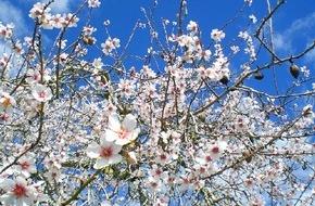 alltours flugreisen gmbh: Mandelblüte lässt bei alltours auch die Nachfrage auf Mallorcaurlaub kräftig sprießen / Buchungsplus im Winter für Reisen auf die Balearen