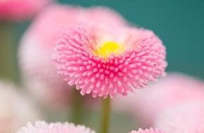 Blumenbüro: Primeln, Stiefmütterchen & Maßliebchen als Frühlingsboten / Blühendes Trio eröffnet die Draußen-Saison
