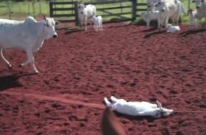 Tierqual für Autoleder: Rinder in Brasilien für Interieur von VW, BMW und Opel gefoltert / Neues PETA-Video deckt grobe Missstände bei Zulieferfarmen des größten Lederverarbeiters der Welt auf