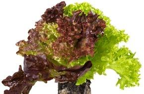 Coop Genossenschaft: «Living Salad» - dieser Salat bleibt besonders lang frisch / Neuheit: Coop verkauft Salat mitsamt Wurzelballen
