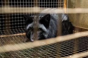 Zürcher Tierschutz: Pelz-Deklaration: Gesetzesverstösse bei PKZ, Jelmoli und Globus