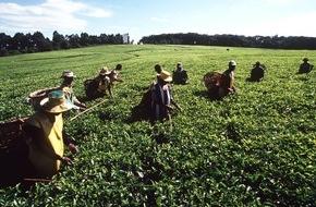 Deutscher Teeverband e.V.: Kenia - größter Tee-Exporteur der Welt / Eine afrikanische Erfolgsstory: Kein anderes Land der Welt exportiert mehr Tee als Kenia