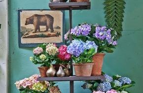 Blumenbüro: Frische Farben gegen Wintertristesse / Frühlingsanfang im Januar mit der Zimmerhortensie