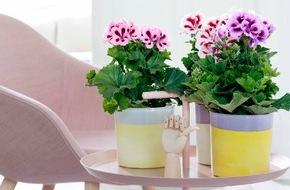 Blumenbüro: Edelgeranie ist Zimmerpflanze des Monats März - Blütenzauber für Zuhause mit der Edelgeranie